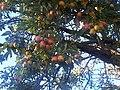 Rosales - Malus domestica - 12.jpg