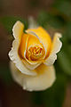 "Rose, ""Duft Gold"" - Flickr - nekonomania.jpg"