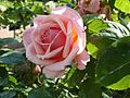 Rose 'Paul Bocuse' in Jardin des Plantes of Paris 05.jpg