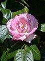 Rosengarten der Stadt Köln Rosa 'Händel' 2.jpg