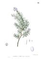 Rosmarinus officinalis Blanco1.94.png