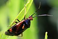 Rote Weichwanze Deraeocoris ruber 9953.jpg