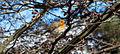 Rouge-gorge dans un arbre au Parc Floral.jpg