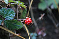 Rubus acuminatus.jpg