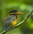 Rufous-collared Kingfisher - Thailand S4E3779 (cropped).jpg