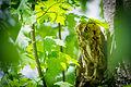 Rufous morph Eastern Screech-Owl (Megascops asio) (17196340403).jpg