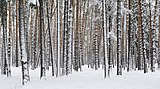 Russia. Moscow Region. Winter pine wood, lake Kratovskoe area.JPG