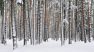 Russia. Moscow Region. Winter pine wood, lake Kratovskoe area.JPG