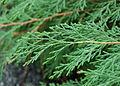 Russian Arborvitae Microbiota decussata Leaves 2800px.JPG