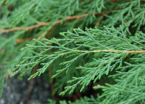 Microbiota decussata - Microbiota decussata - closeup of scale-like leaves.