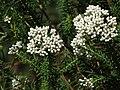 Sago flowers (Ozothamnus diosmifolius).jpg