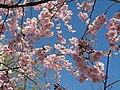 Saint Petersburg. Chinese Garden. Sakura tree2018 05.jpg