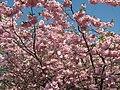 Saint Petersburg. Chinese Garden. Sakura tree2021 11.jpg