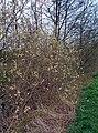 Salix caprea (13784266414).jpg