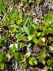 Vŕba bylinná (Salix herbacea) - samičia rastlina