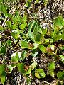 Salix herbacea female fruits1.JPG