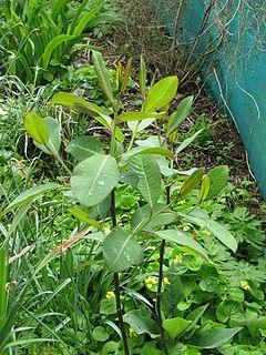 <i>Salix magnifica</i> Species of willow