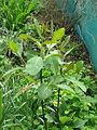Salix magnifica (17147059399).jpg