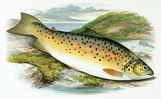 Gillaroo Species of fish