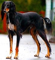 Saluki Dog Breed Info