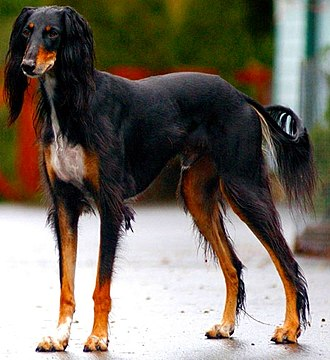 Sighthound - Saluki