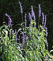 Salvia farinacea HC2.jpg