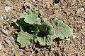 Salvia hierosolymitana kz1.jpg