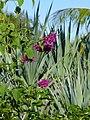 Salvia iodantha (Scott Zona) 001.jpg