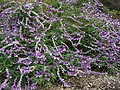 Salvia leucantha at Yamada Sunflower Garden in Miyaki 01.jpg