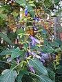 Salvia mexicana 'Limelight'1.jpg