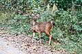 Sambar deer fawn at Chitwan National Park.jpg