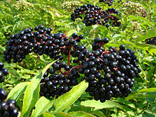 220px-Sambucus-berries.jpg