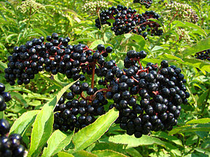 Sambucus - Sambucus berries (elderberries)