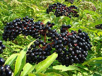 Sambucus - Sambucus berries (elderberries)