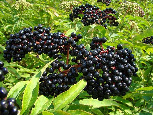 sambucus berriesjpg
