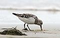 Sanderling (Calidris alba) (3496259582).jpg
