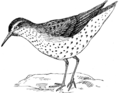 Sandpiper 1970 (PSF).png