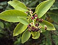 Santalum album leaves and flowers 06.JPG