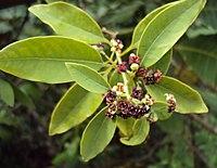 Santalum album leaves and flowers 06