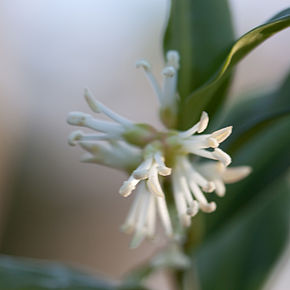 Description de l'image Sarcococca hookeriana - fleurs.jpg.