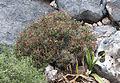 Sarcopoterium spinosum - Thorny burnet - Abdestbozan.jpg
