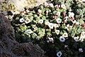 Saxifraga andersonii BotGardMunich 20170225 F.jpg
