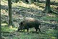 Schönbuch-Wildsschwein.jpg