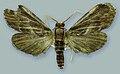 Schacontia umbra male paratype - ZooKeys-291-027-g001-3.jpeg