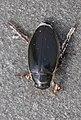 Schiermonnikoog - Gewone geelrand (Dytiscus marginalis) v2.jpg