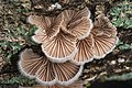Schizophyllum commune (849610).jpg