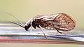 Schlammfliege Sialis sp 5325.jpg