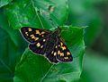 Schlangen - 2014-05-25 - LIP-066 - Carterocephalus palaemon (1).jpg