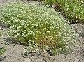 Scleranthus perennis plant (10).jpg