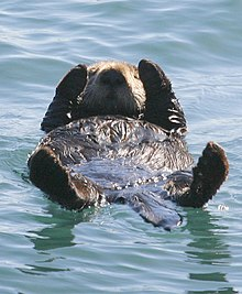 Sea otter - Wikipedia